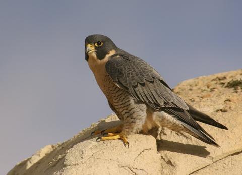 Фото - Птах сапсан: опис і фото