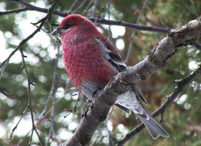 Фото - Птахи щури: звички й особливості утримання в неволі