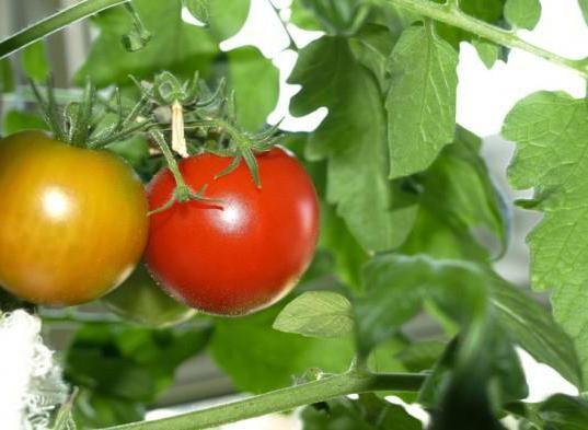 Фото - Салат з червоного помідора на зиму: рецепти