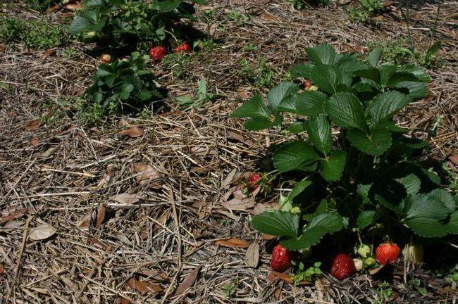 схема посадки полуниці під агроволокно