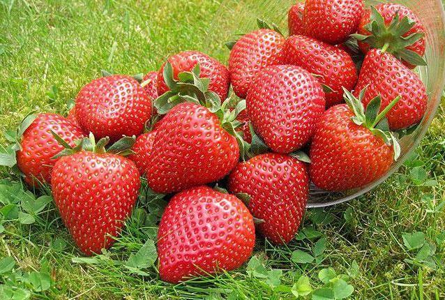 схема посадок полуниці