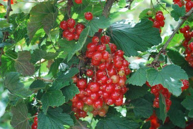 Фото - Смородина червона: користь і шкода для здоров'я, калорійність