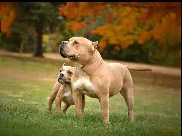 собака стаффорд