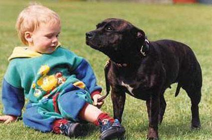 стаффорд собака фото
