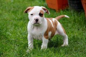 порода собак стаффорд