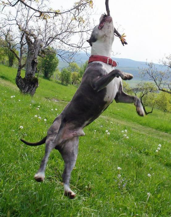 як виглядає собака стаффорд