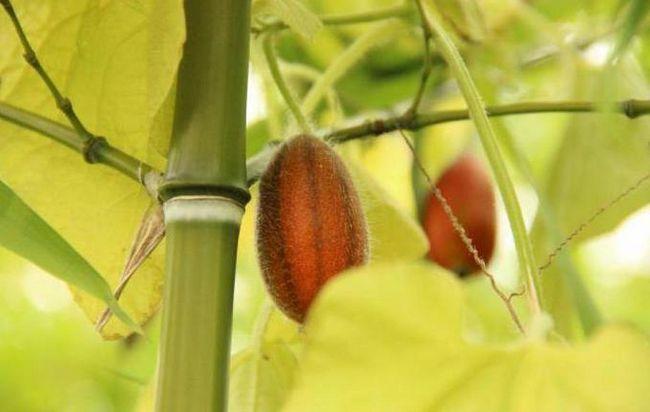 Фото - Тладіанта (червоні огірки): характеристика, опис та відгуки