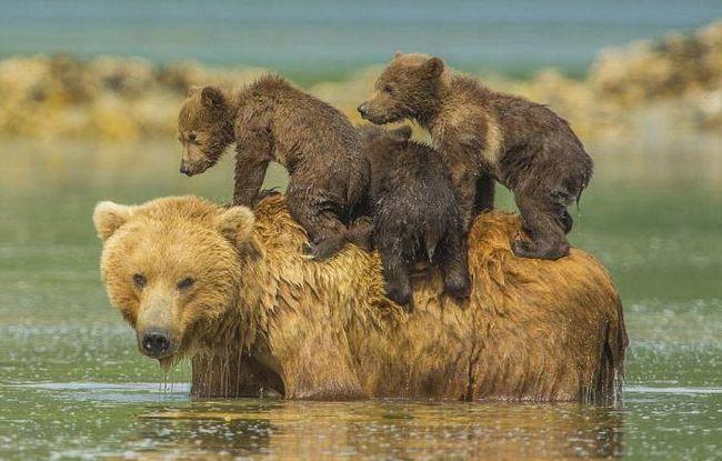 Фото - Тікати від ведмедів уві сні. Тлумачення снів