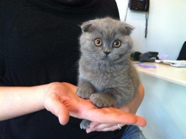 Фото - Догляд за шотландським висловухих кошеням: основні правила для власників
