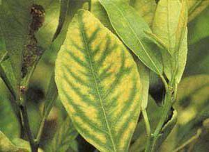 жовті плями на листі лимона що робити