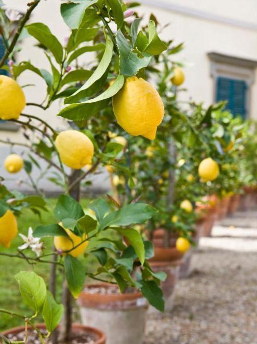 на листках лимона жовті плями
