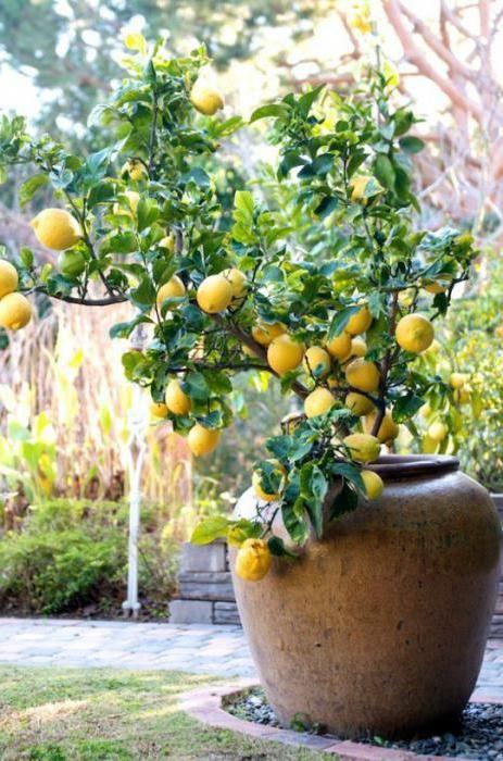 жовті плями на листі лимона