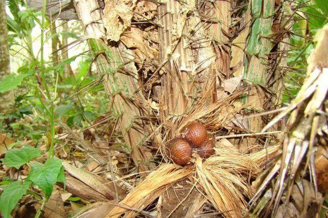 зміїний фрукт салака