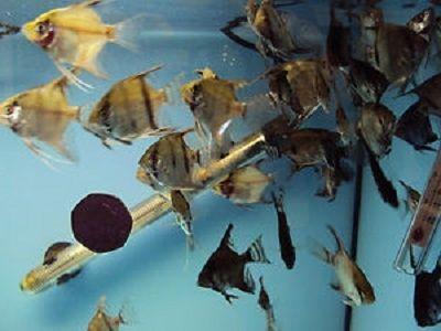 Фото - Акваріумні рибки скалярии - розмноження в домашніх умовах