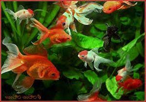 Фото - Хвороби золотої рибки - турбота їх господаря