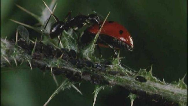 Фото - Боротьба з садовими мурахами - справа честі будь-якого садівника