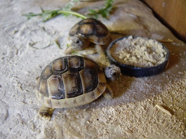 Фото - Чим годувати сухопутну черепаху, щоб вона була здоровою?