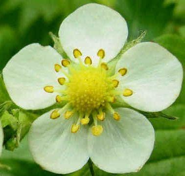 біологія будова квітки