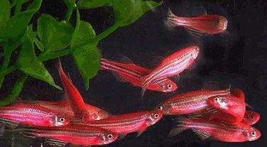 Фото - Даніо рожевий - прекрасна рибка для множинного акваріума