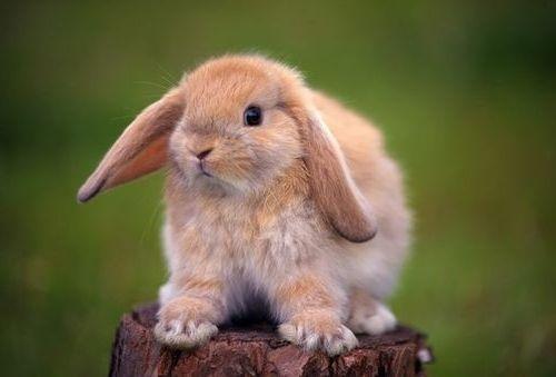 Декоративний кролик скільки живе