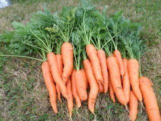 підготовка насіння моркви до посіву