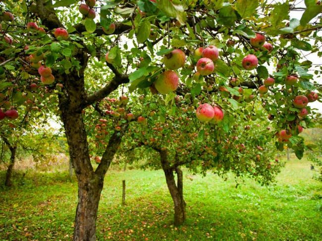 Яблуня чемпіон