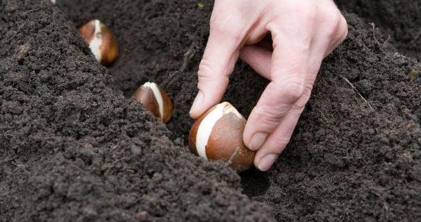коли пересаджувати тюльпани