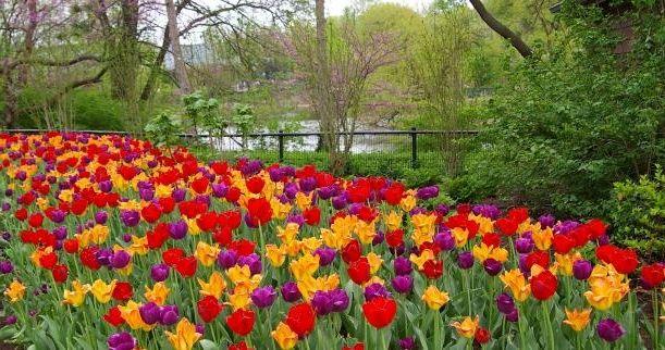 можна пересаджувати тюльпани навесні