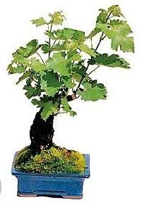 Фото - Як правильно виростити виноград: догляд навесні