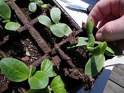 Фото - Як прищипувати огірки, щоб отримати багатий врожай