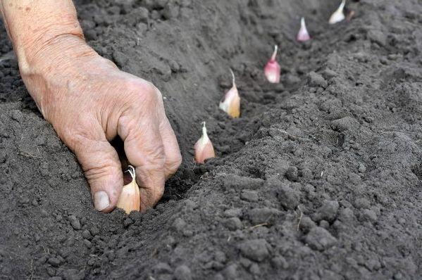 Як садити часник на зиму