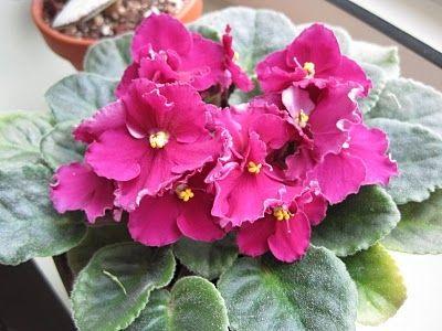 квіти фіалки фото