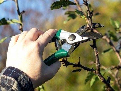 Фото - Як доглядати за яблунею на садовій ділянці