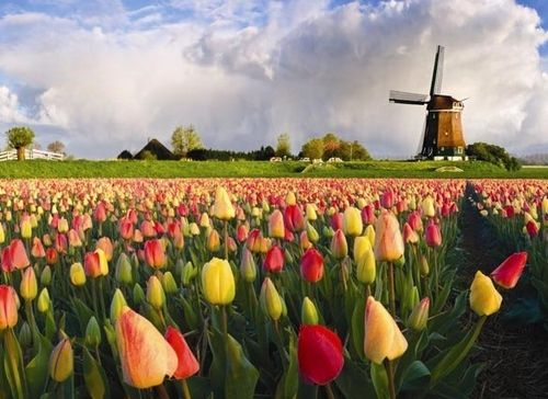Фото - Як доглядати за тюльпанами в різний час року