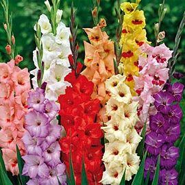 Фото - Як вирощувати гладіолуси - правильний догляд за цими чудовими квітами