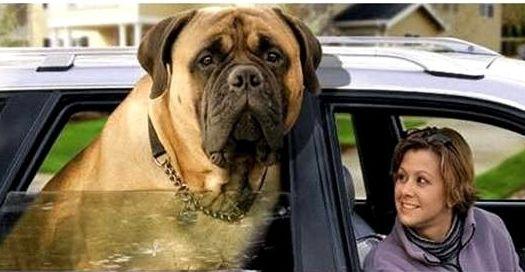 Фото - Яка найбільша у світі порода собак?