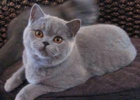 Фото - Які вони, британські кішки: забарвлення і зовнішній вигляд