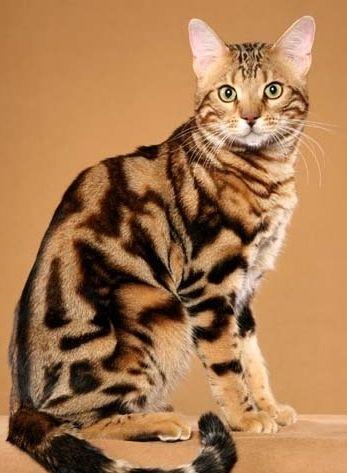 Фото - Який характер бенгальських кішок