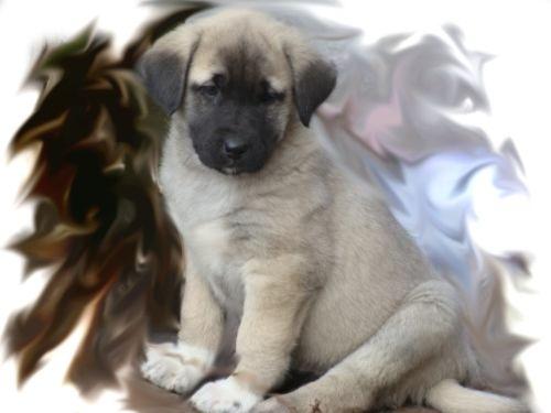 Фото - Кангал - собака з темпераментом