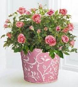 кімнатні троянди види фото