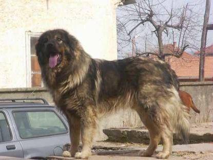 собака кавказька вівчарка