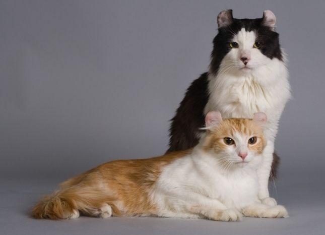 Фото - Кішка породи американський керл - справжній сімейний товариш