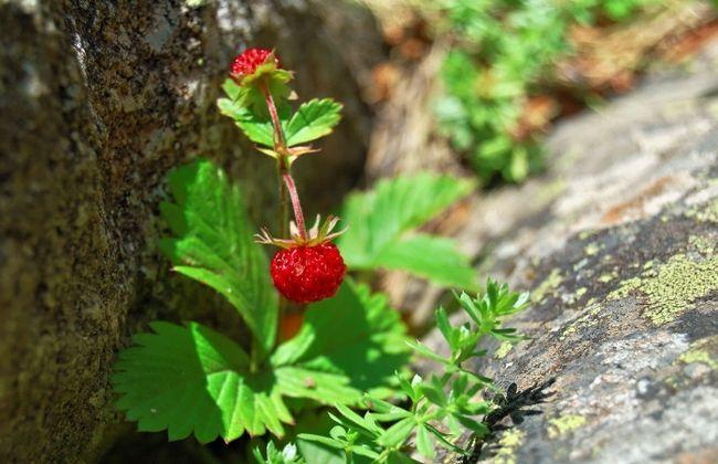 суниця лісова ягода