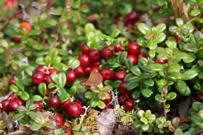 лісові ягоди фото