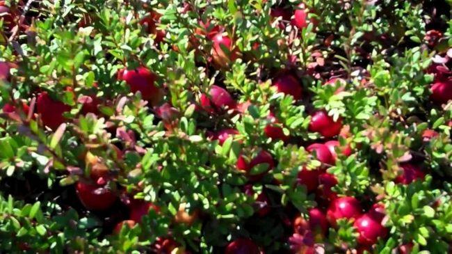 їстівні лісові ягоди