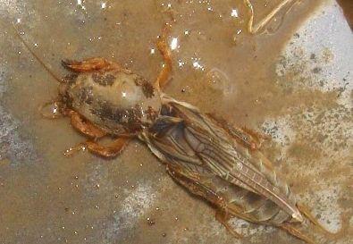 Фото - Личинка капустянки - небезпечний шкідник