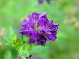 Фото - Люцерна: корисні властивості для сільського господарства та медицини