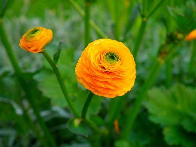 Фото - Лютики - вирощування та догляд