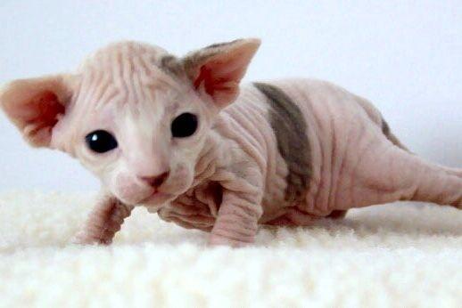 лисі кішки породи
