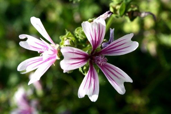 Фото - Мальва: посадка і догляд за квіткою